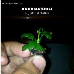 Anubias Chili plants, aquarium plants, live aquarium plants