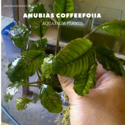 Anubias Coffeefoiia plants, aquarium plants, live aquarium plants
