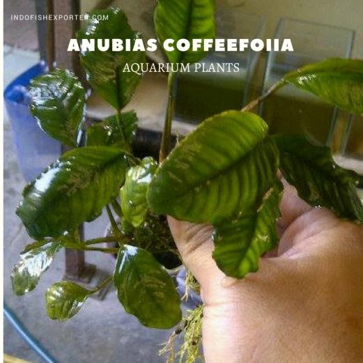 Anubias Coffeefoiia plants, aquarium plants, live aquarium plants