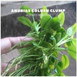 Anubias Golden Clump plants, aquarium plants, live aquarium plants