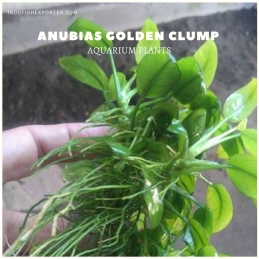 Anubias Golden Clump plants, aquarium plants, live aquarium plants