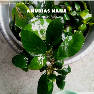 Anubias Nana plants, aquarium plants, live aquarium plants
