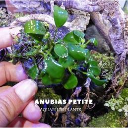 Anubias Petite plants, aquarium plants, live aquarium plants