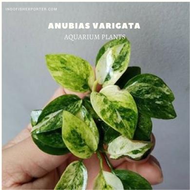 Anubias Varigata plants, aquarium plants, live aquarium plants