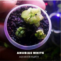 Anubias White plants, aquarium plants, live aquarium plants