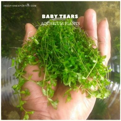 Baby Tears plants, aquarium plants, live aquarium plants
