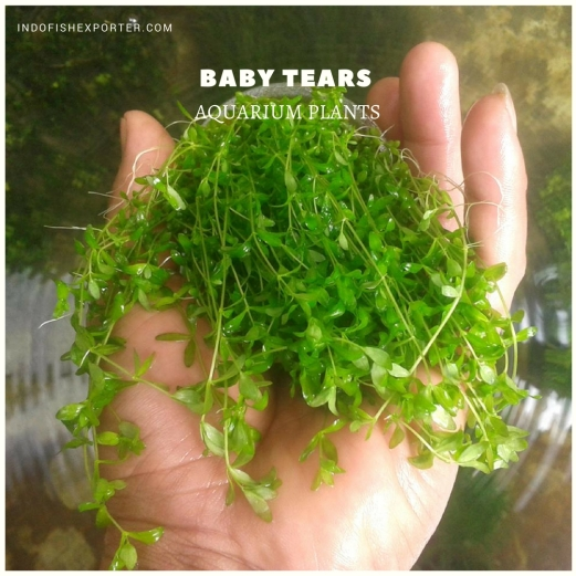 Baby Tears plants, aquarium plants, live aquarium plants