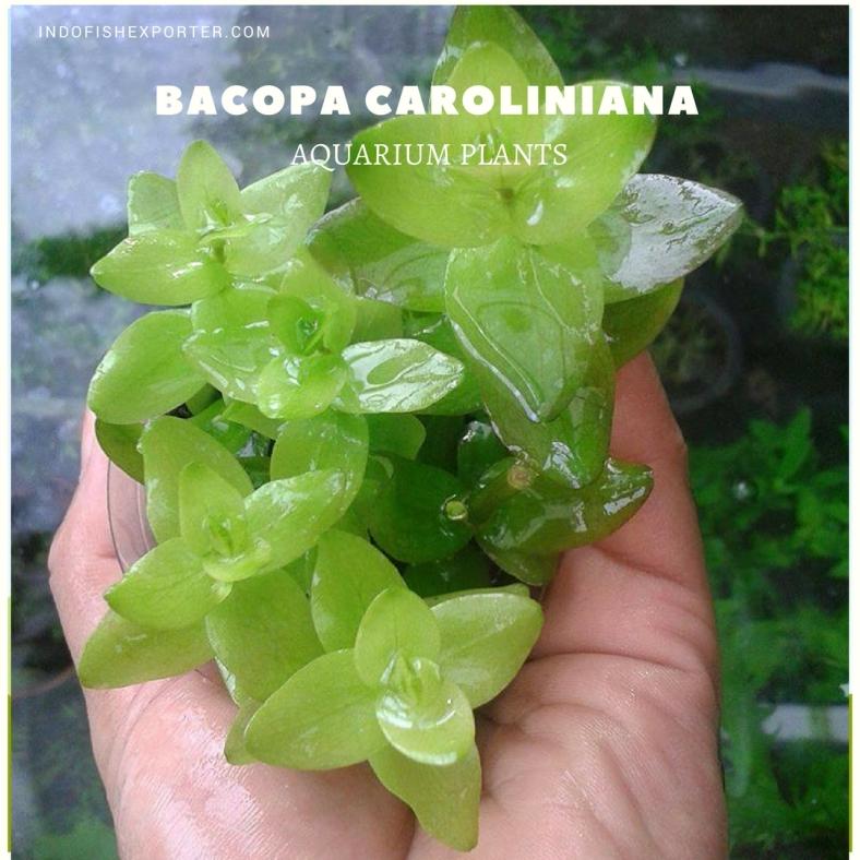 Bacopa Caroliniana plants (1)
