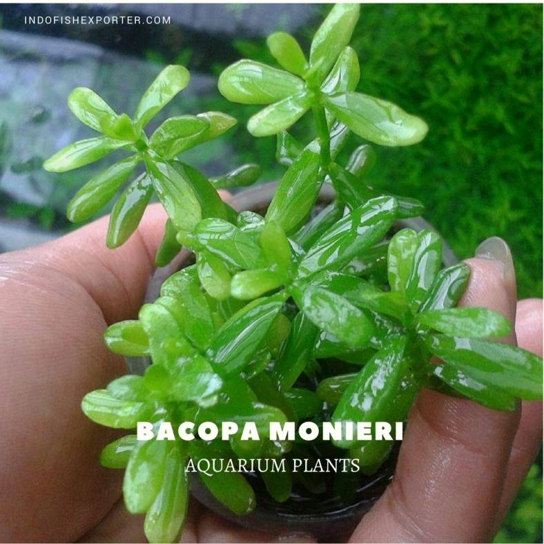 BACOPA MONIERI plants