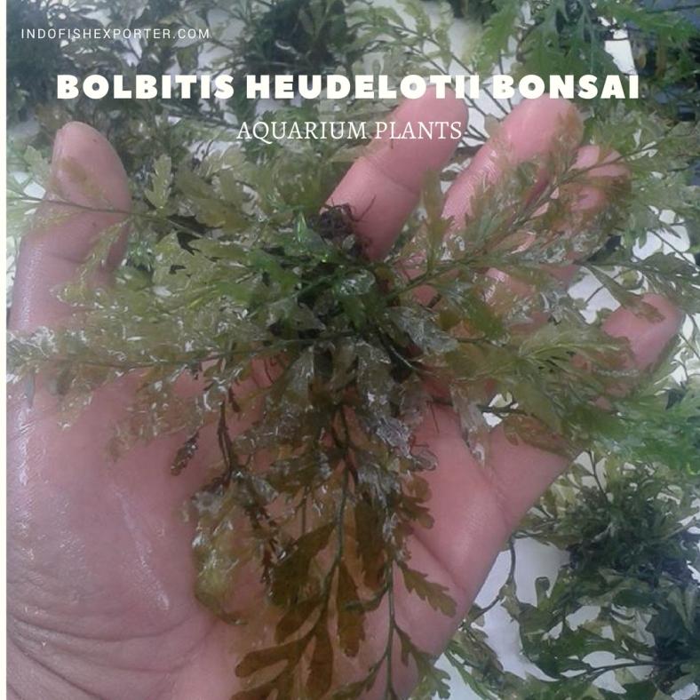 Bolbitis Heudelotii Bonsai plants