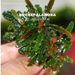 Buchepalandra plants, aquarium plants, live aquarium plants