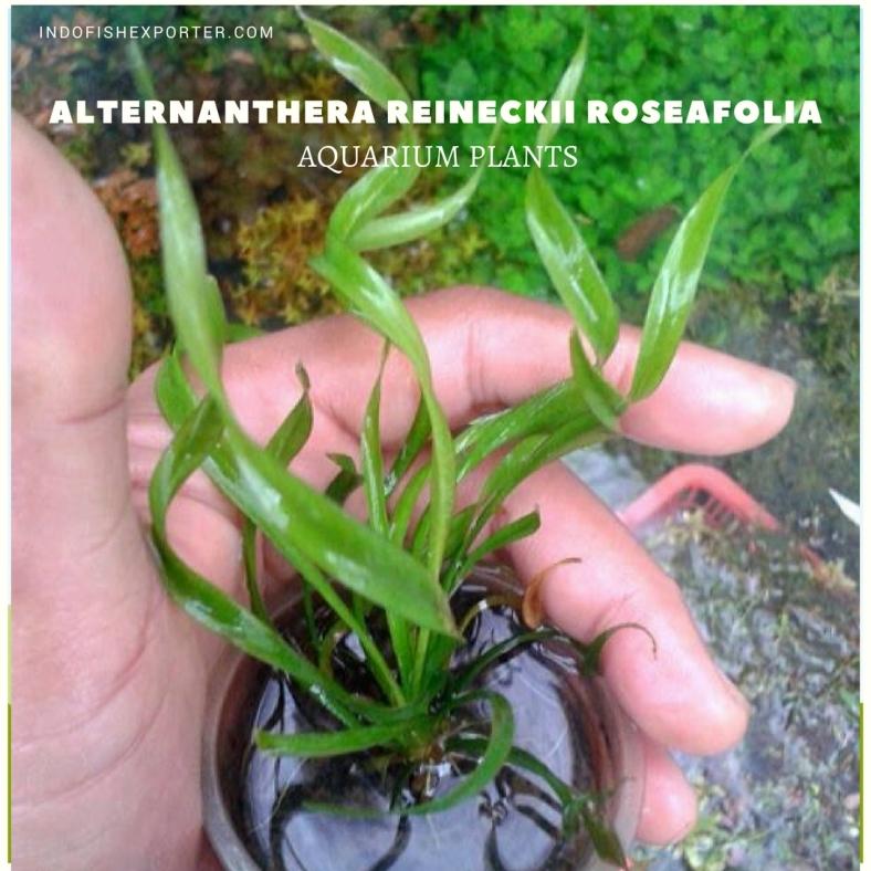 Echinodorus Vesuvius plants (1)