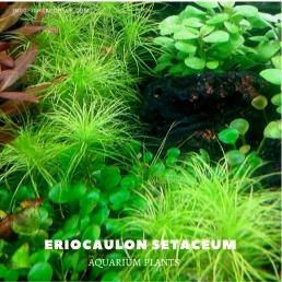 Eriocaulon Setaceum plants, aquarium plants, live aquarium plants