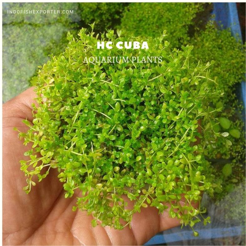 HC Cuba plants