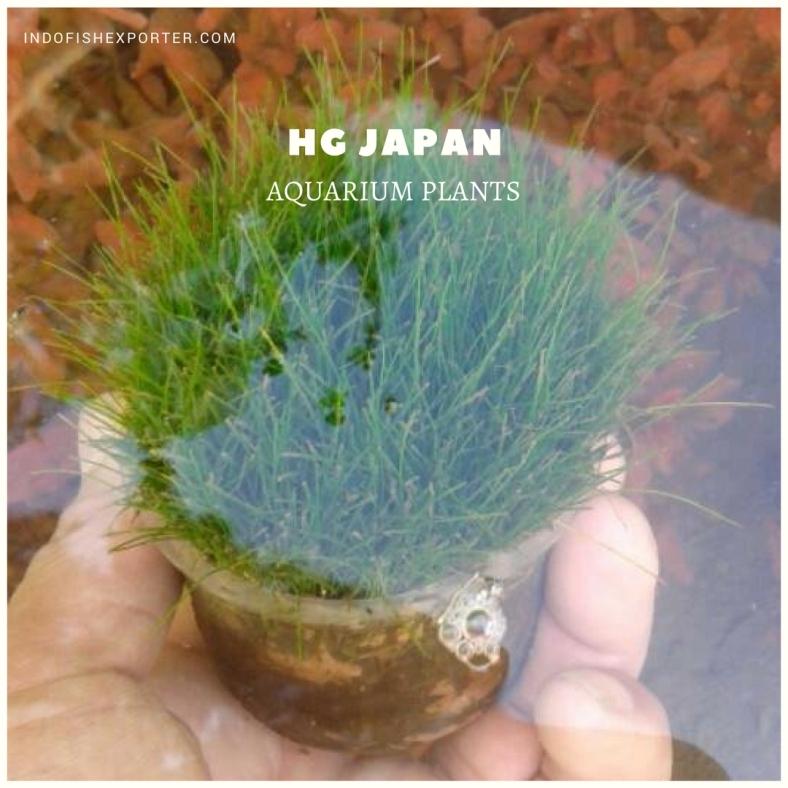 HG JAPAN plants