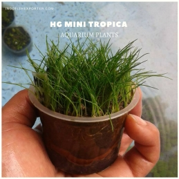 HG MINI TROPICA plants, aquarium plants, live aquarium plants
