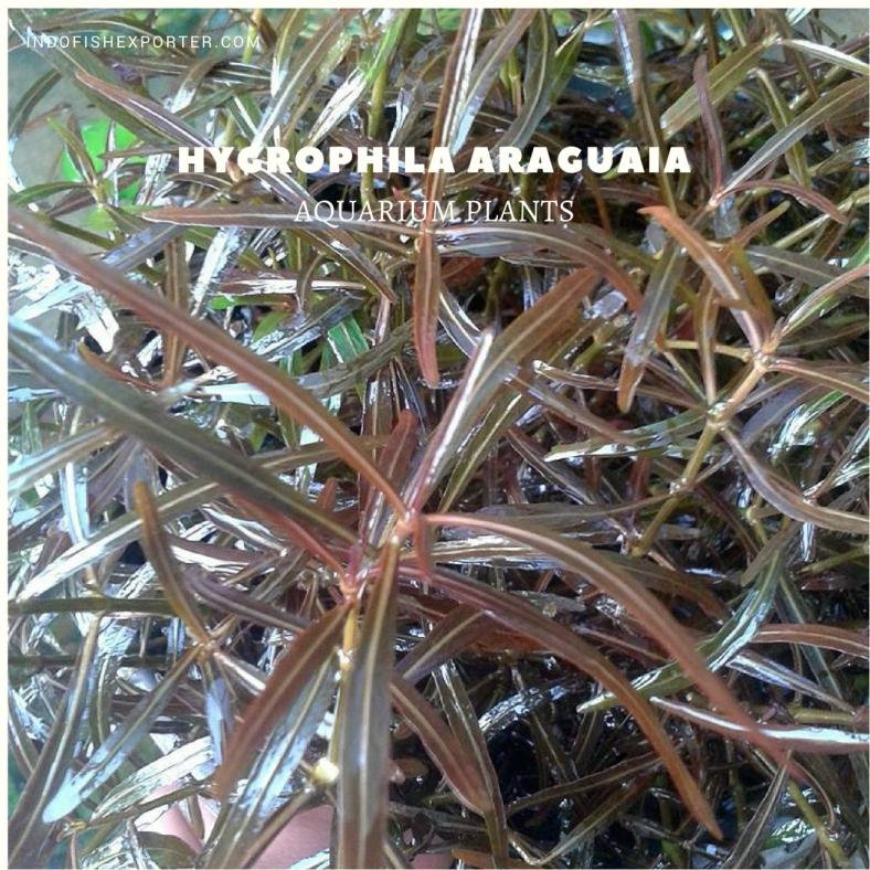 Hygrophila Araguaia plants