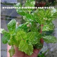 Hygrophila Difformis Variegata plants, aquarium plants, live aquarium plants