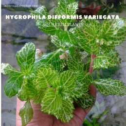 Hygrophila Difformis Variegata plants, aquarium plants, live aquarium plants