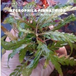 Hygrophila Pinnatifida plants, aquarium plants, live aquarium plants