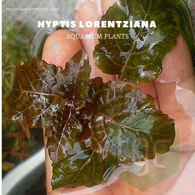 Hyptis Lorentziana plants
