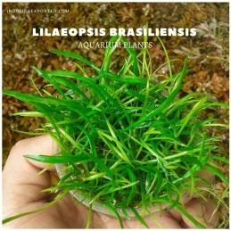 Lilaeopsis Brasiliensis plants, aquarium plants, live aquarium plants