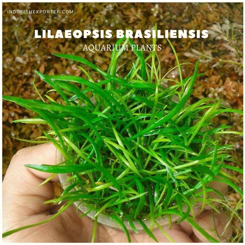 Lilaeopsis Brasiliensis plants