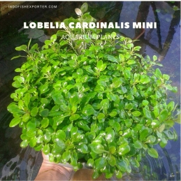 Lobelia Cardinalis Mini plants, aquarium plants, live aquarium plants