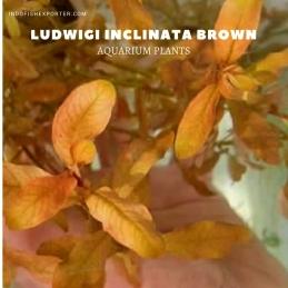 Ludwigi Inclinata Brown plants, aquarium plants, live aquarium plants