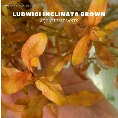 Ludwigi Inclinata Brown plants, aquarium plants, live aquarium plants