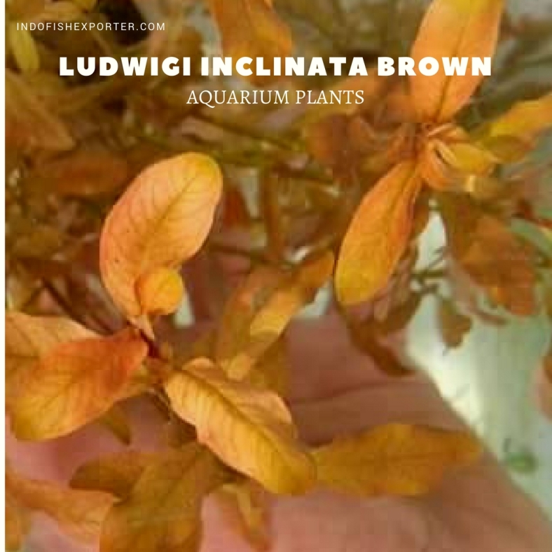 Ludwigi Inclinata Brown plants