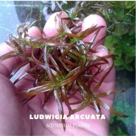 Ludwigia Arcuata plants, aquarium plants, live aquarium plants