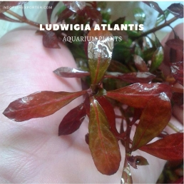 Ludwigia Atlantis plants, aquarium plants, live aquarium plants