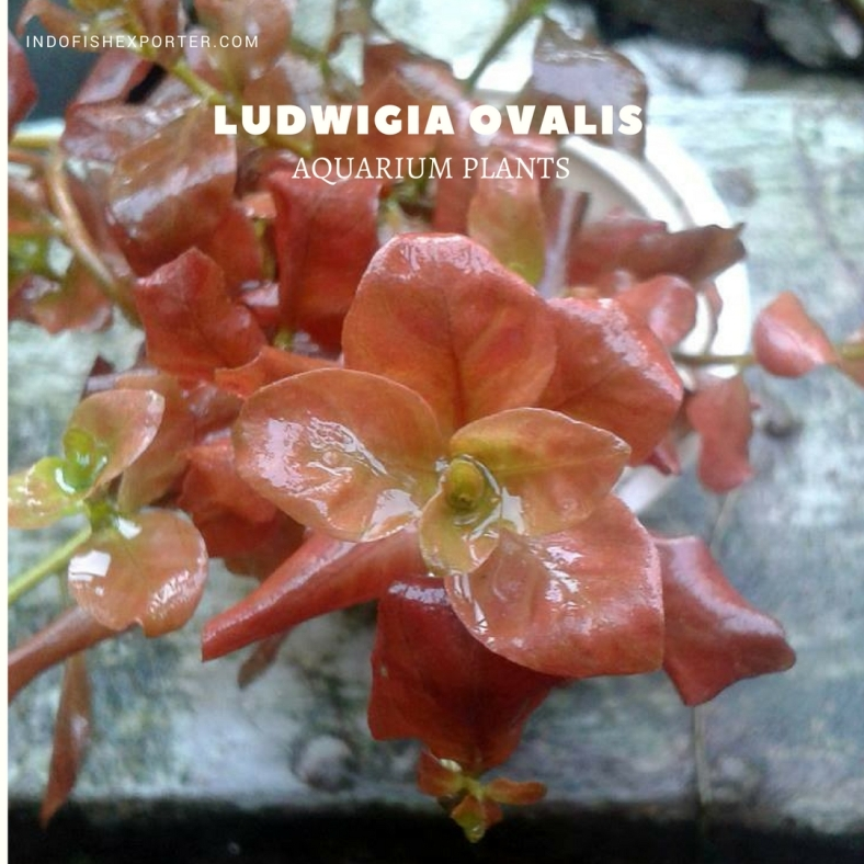 Ludwigia Ovalis plants