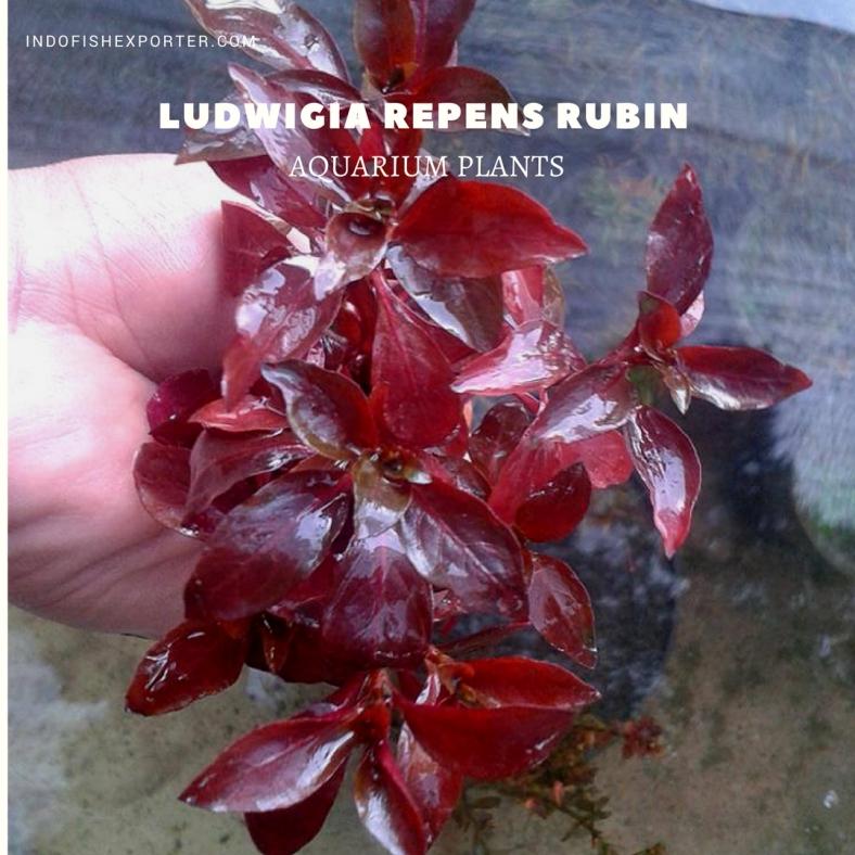 Ludwigia Repens Rubin plants