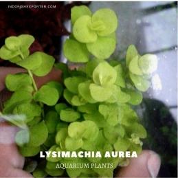 Lysimachia Aurea plants, aquarium plants, live aquarium plants