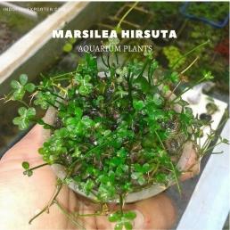 Marsilea Hirsuta plants, aquarium plants, live aquarium plants