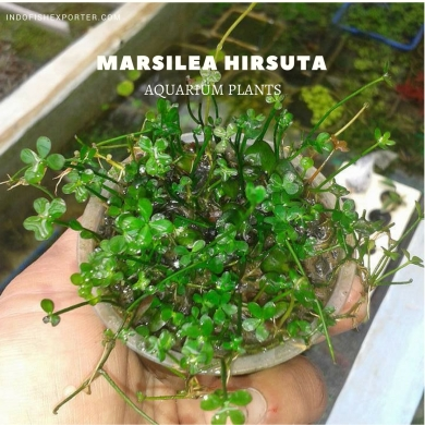 Marsilea Hirsuta plants, aquarium plants, live aquarium plants