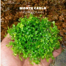 MONTE CARLO plants, aquarium plants, live aquarium plants