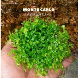 MONTE CARLO plants, aquarium plants, live aquarium plants