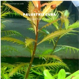 Palustris Cuba plants, aquarium plants, live aquarium plants