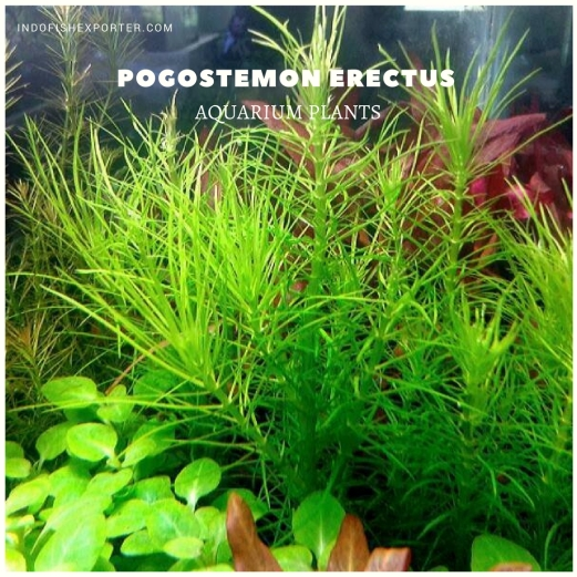 Pogostemon Erectus plants, aquarium plants, live aquarium plants