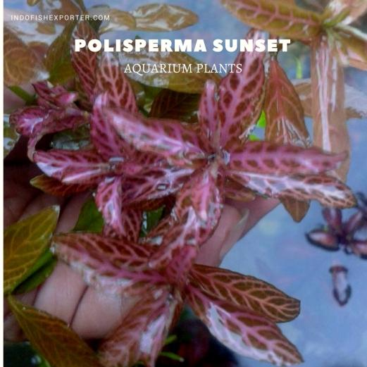 Polisperma Sunset plants, aquarium plants, live aquarium plants