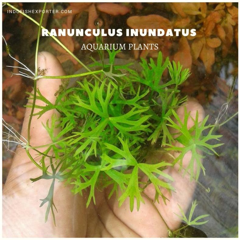Ranunculus Inundatus plants