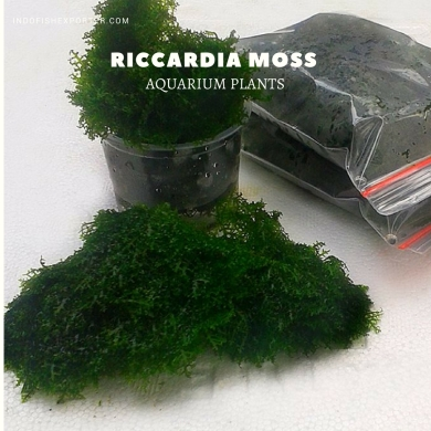 Riccardia Moss plants, aquarium plants, live aquarium plants