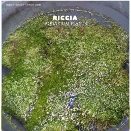 Riccia plants, aquarium plants, live aquarium plants