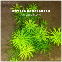ROTALA BANGLADESH plants, aquarium plants, live aquarium plants