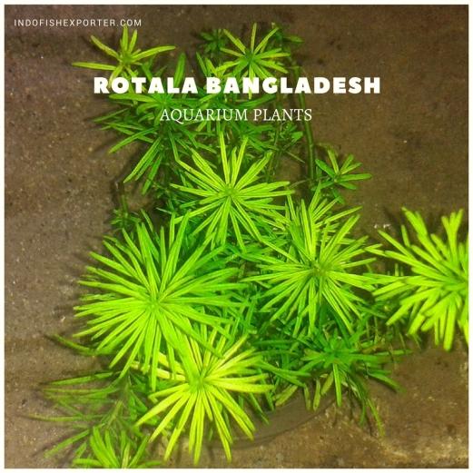 ROTALA BANGLADESH plants, aquarium plants, live aquarium plants