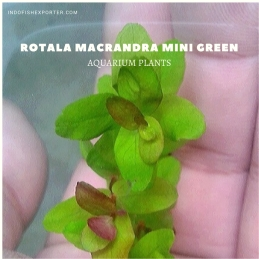 ROTALA MACRANDRA MINI GREEN plants, aquarium plants, live aquarium plants