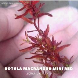 Rotala Macrandra Mini Red plants, aquarium plants, live aquarium plants